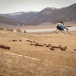 CLDC buffalo